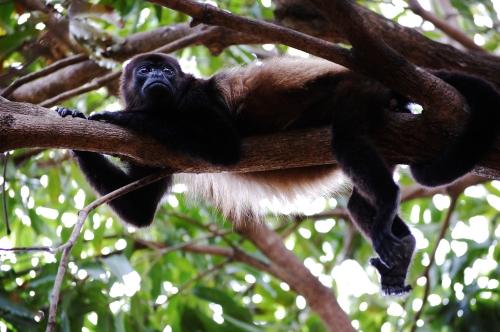 monkey lounging