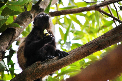 mono con mango 2